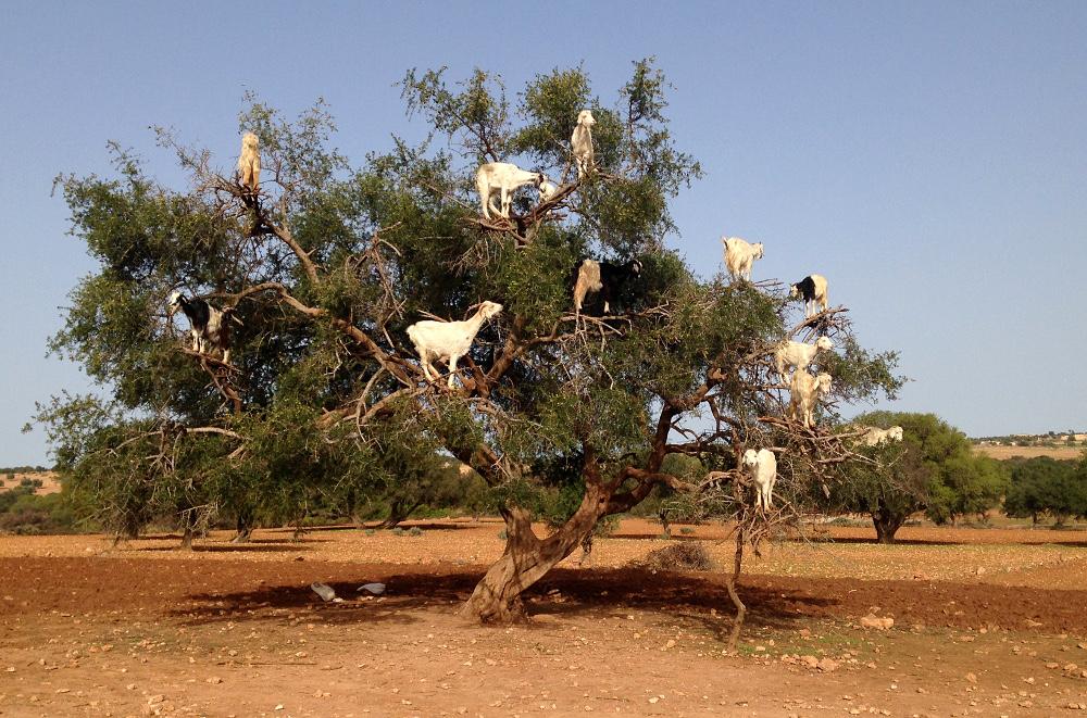Marrakech Morocco - Gateway to Sahara Desert - Goats on Treest