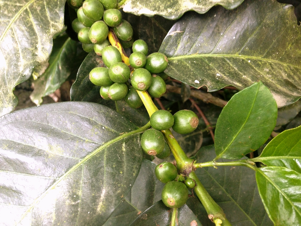 Arabica Coffee Cherries Beans during our coffee tour in Salento, Colombia