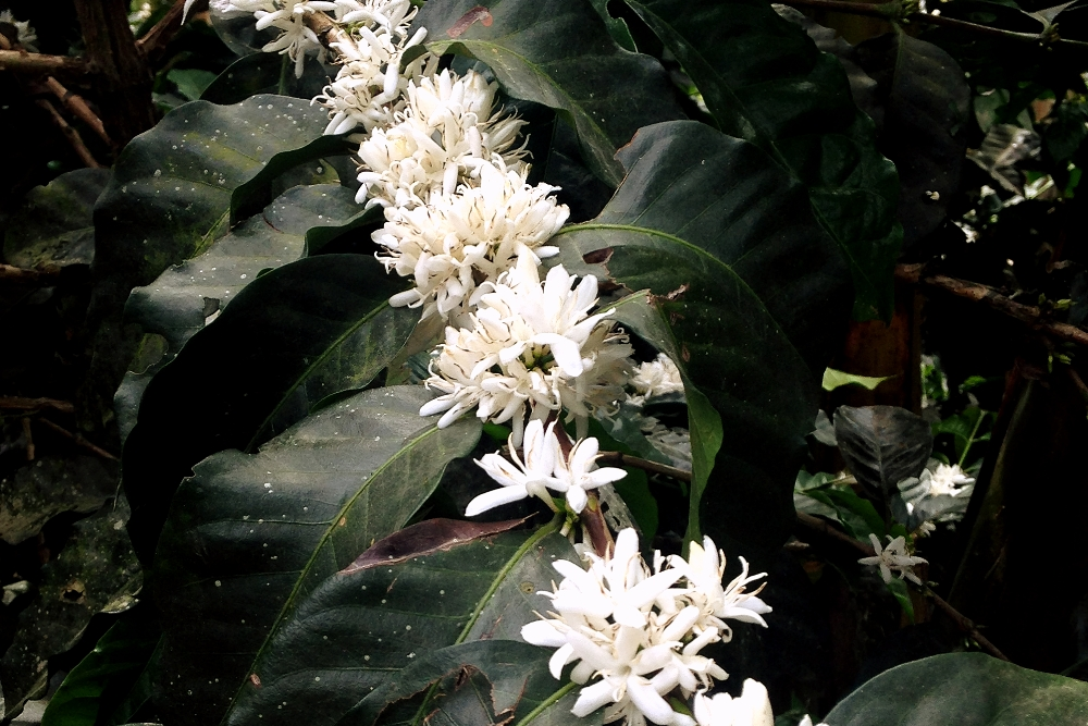 Coffee flowers during our coffee tour in Salento, Colombia