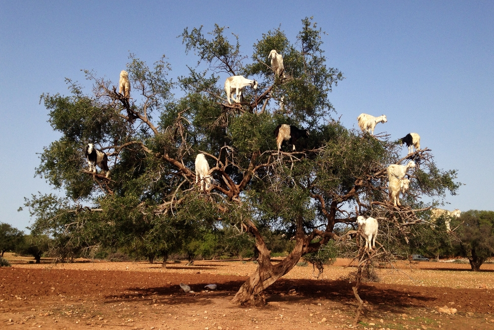 Female Travel Story - Backpacking Women - Morocco Goats on Trees