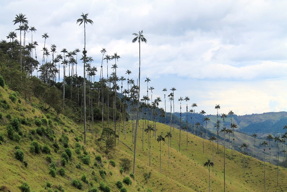 Valle de Cocora Salento Wax Palms - Top Places to See in Colombia