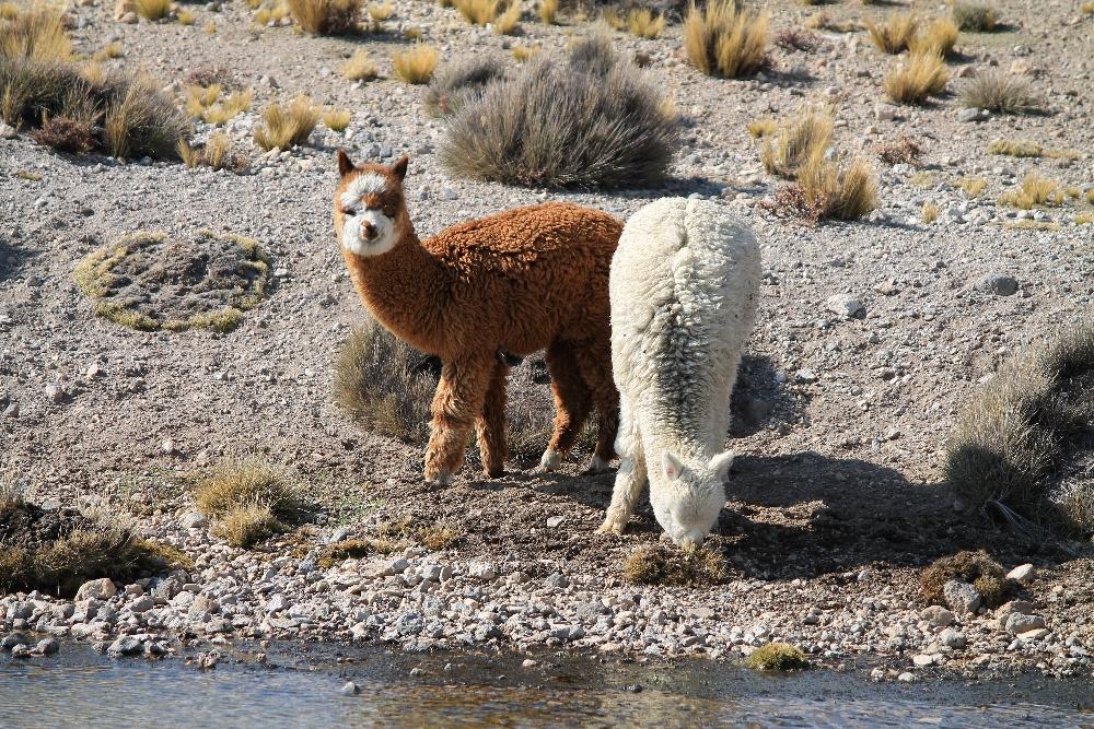 2 Days Colca Canyon Trek - Peru Hike - Alpacas