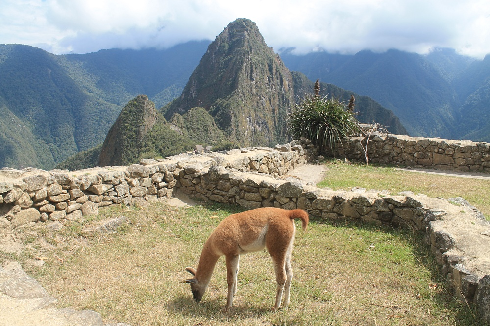 Exploring Wonder of the World Machu Picchu - Lama