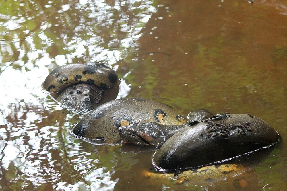 4-day-amazon-tour-cuyabeno-reserve-ecuador-anaconda-caiman