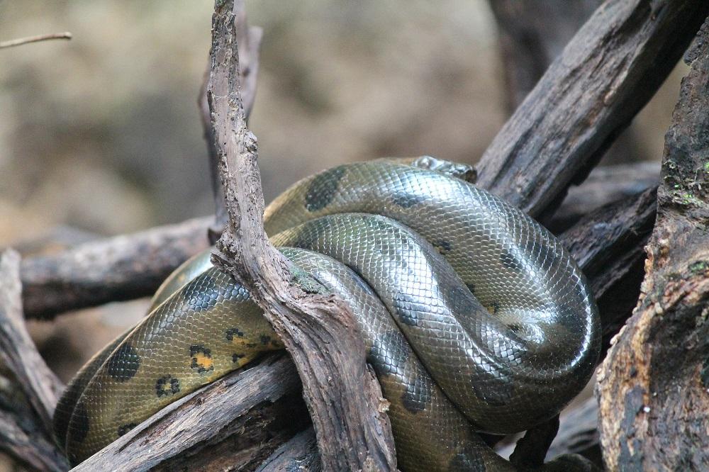4-day-amazon-tour-cuyabeno-reserve-ecuador-anaconda