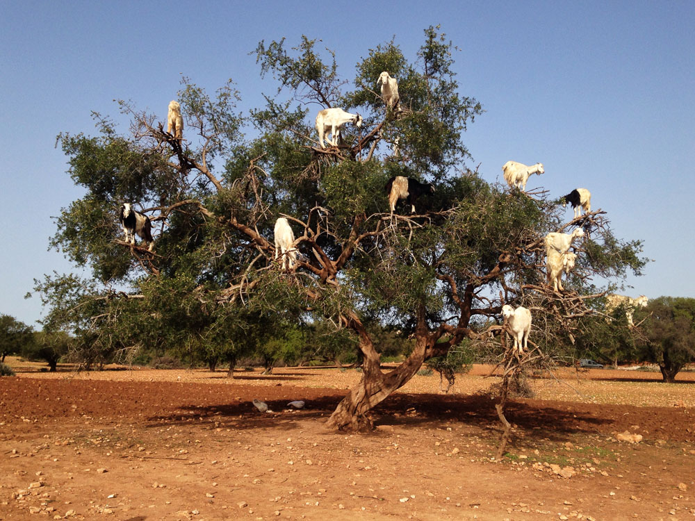 Goats on Argan Trees - One of the Awesome Things to Do in Morocco