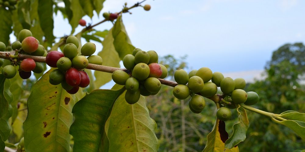 Coffee And Tea Plantation Tours From Around The World