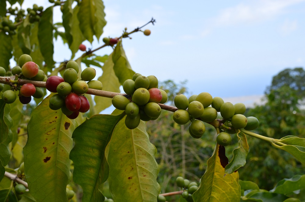 % Kona Coffee Beans = Maximum Caffeine and antioxidants. Why hand-picked Kona coffee beans best shipped direct to your Doorstep? Coffee beans from the farm to store shelf can lose up-to 50% of it's caffeine and antioxidants.
